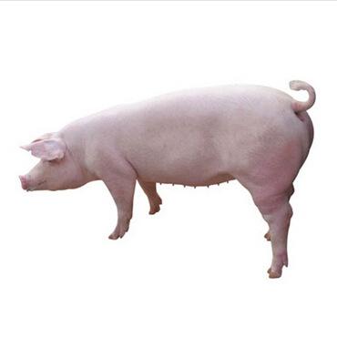 可爱的大猪母图片
